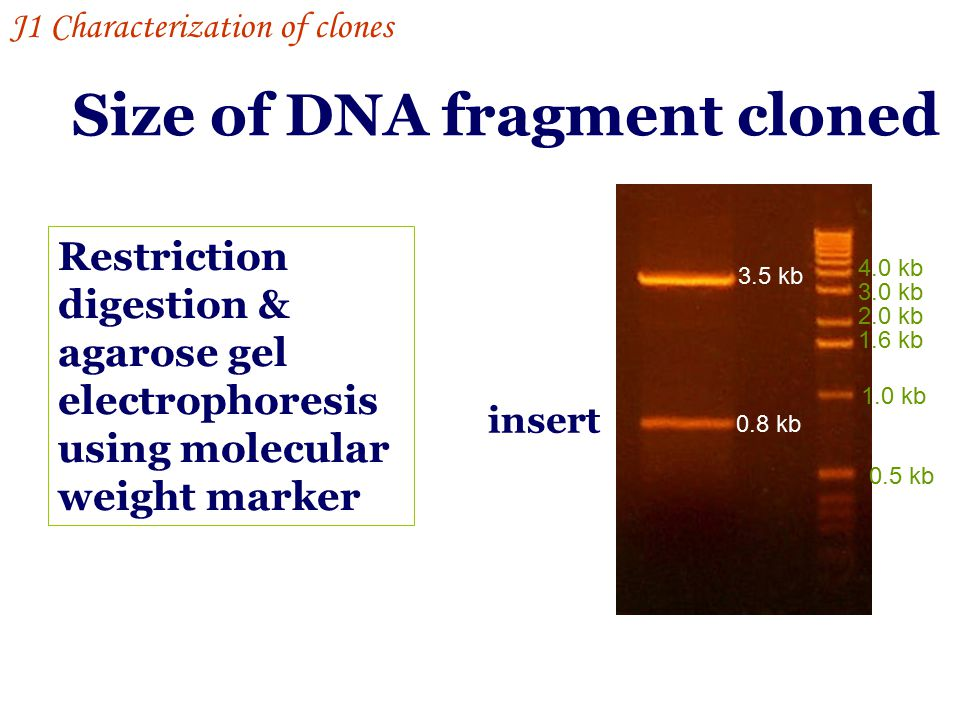 Strand-specific DNA probes: e.g.M13 DNA as template the missing strand can be re- synthesized by incorporating radioactive nulceotides Strand-specific RNA probes: labeled by transcription J1 Characterization of clones