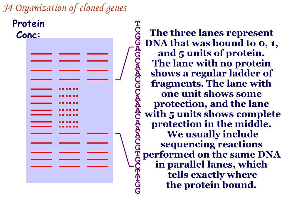 0 1 5 Protein Conc: The three lanes represent DNA that was bound to 0, 1, and 5 units of protein. The lane with no protein shows a regular ladder of f