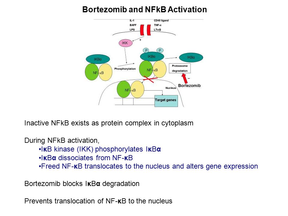 Inactive NFkB exists as protein complex in cytoplasm During NFkB activation, IκB kinase (IKK) phosphorylates IκBα IκBα dissociates from NF-κB Freed NF-κB translocates to the nucleus and alters gene expression Bortezomib blocks IκBα degradation Prevents translocation of NF-κB to the nucleus Bortezomib and NFkB Activation
