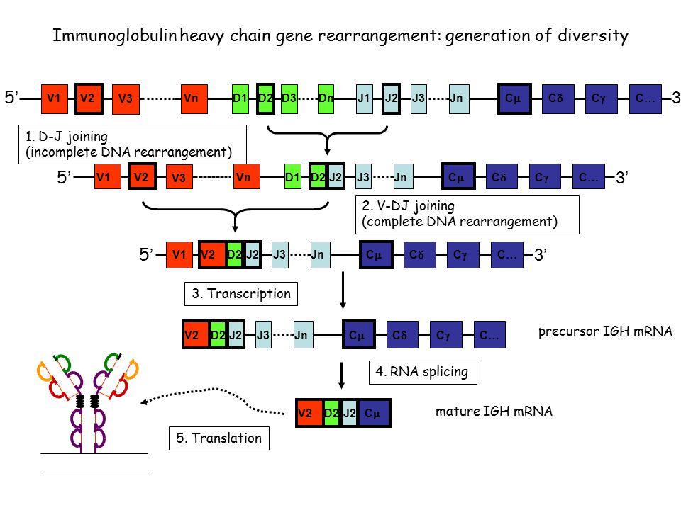 5'5' VnD1D2D3J1DnJ2J3Jn CC CC CC C… 3' V2V1 V3 Immunoglobulin heavy chain gene rearrangement: generation of diversity 5'5' Vn D1 D2J2 J3Jn CC CC CC C… 3' V2 V1 V3 1.