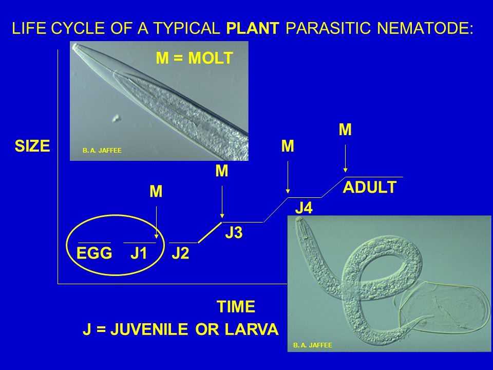 LIFE CYCLE OF A TYPICAL PLANT PARASITIC NEMATODE: EGG ADULT J1J2 J3 J4 J = JUVENILE OR LARVA M M M M TIME SIZE B. A. JAFFEE M = MOLT