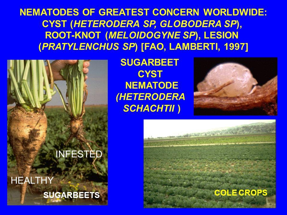 SUGARBEETS HEALTHY INFESTED SUGARBEET CYST NEMATODE (HETERODERA SCHACHTII ) COLE CROPS NEMATODES OF GREATEST CONCERN WORLDWIDE: CYST (HETERODERA SP, GLOBODERA SP), ROOT-KNOT (MELOIDOGYNE SP), LESION (PRATYLENCHUS SP) [FAO, LAMBERTI, 1997]