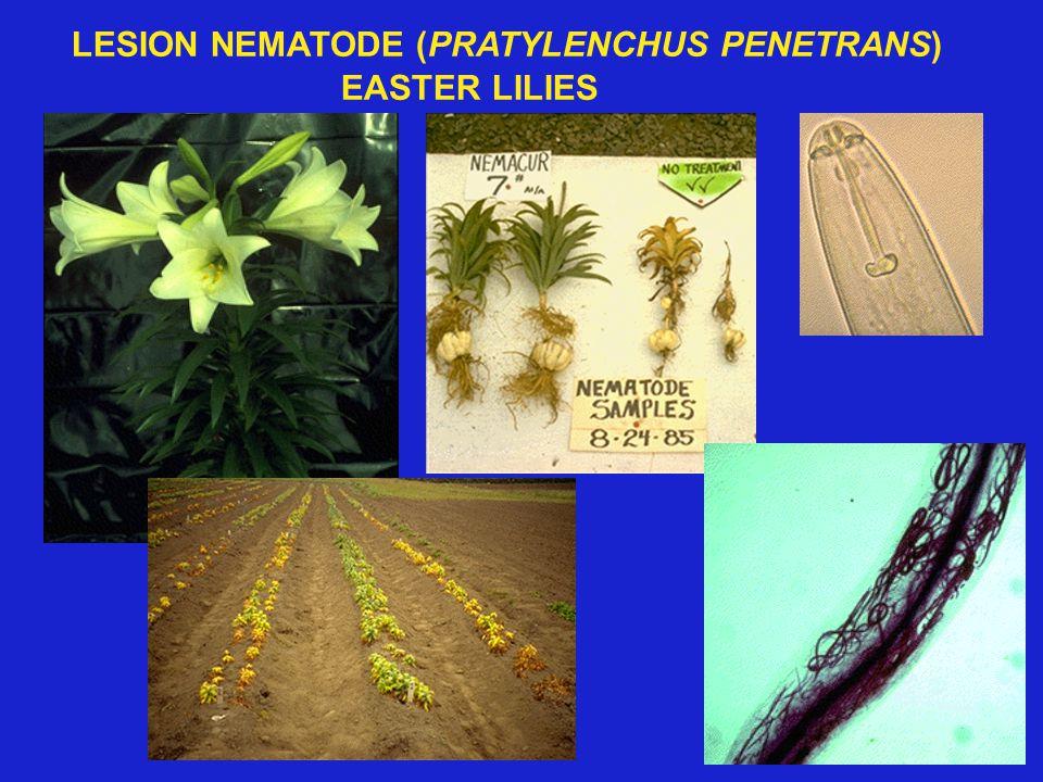LESION NEMATODE (PRATYLENCHUS PENETRANS) EASTER LILIES