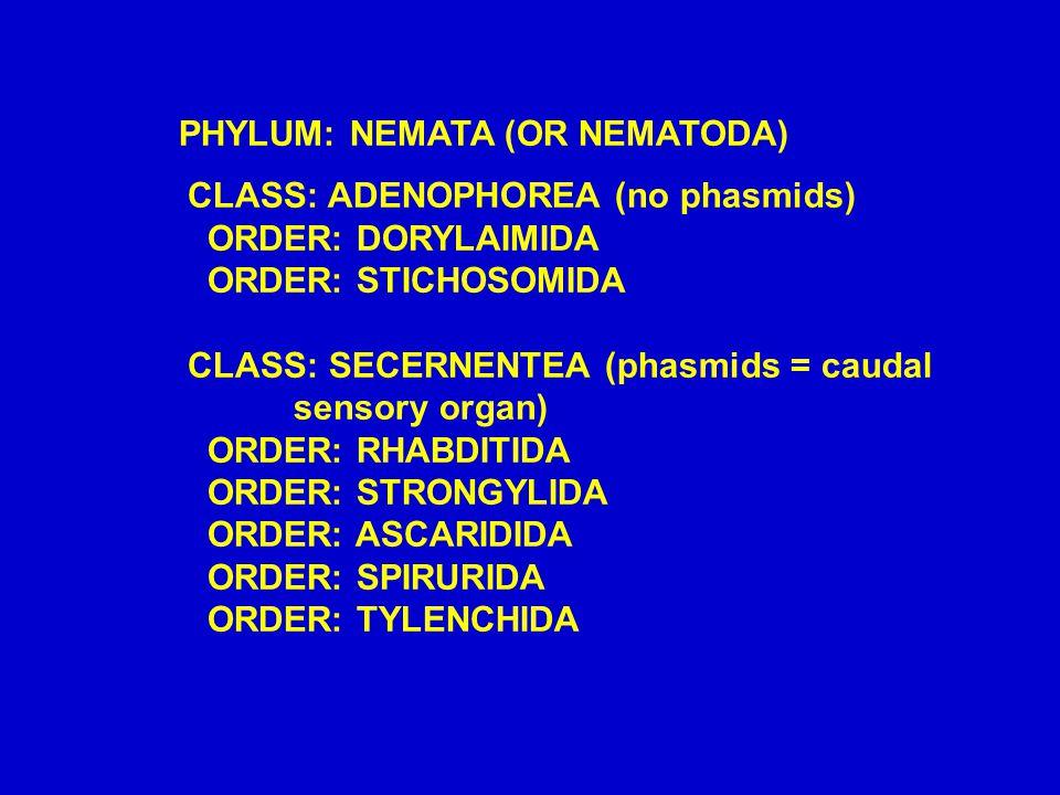 PHYLUM: NEMATA (OR NEMATODA) CLASS: ADENOPHOREA (no phasmids) ORDER: DORYLAIMIDA ORDER: STICHOSOMIDA CLASS: SECERNENTEA (phasmids = caudal sensory org