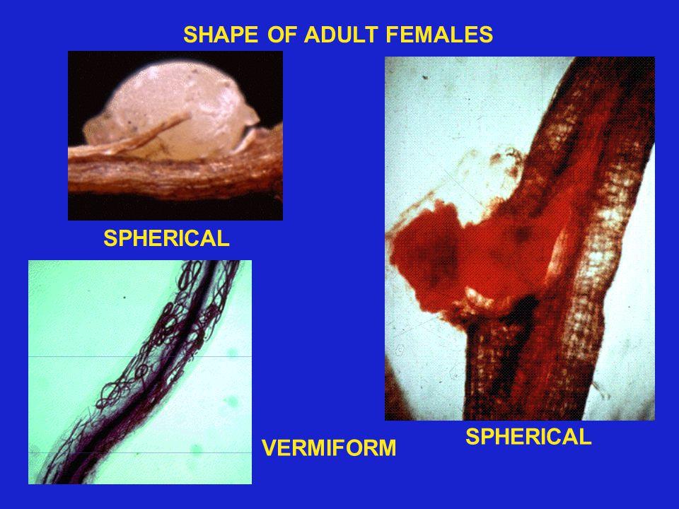 VERMIFORM SPHERICAL SHAPE OF ADULT FEMALES SPHERICAL