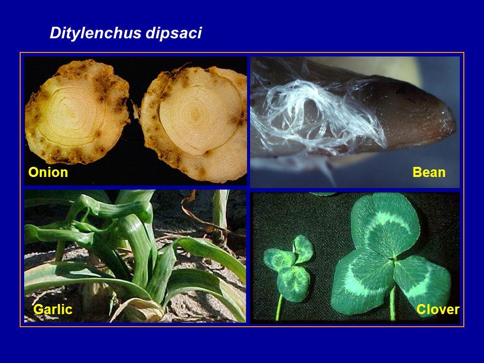 Ditylenchus dipsaci Onion CloverGarlic Bean