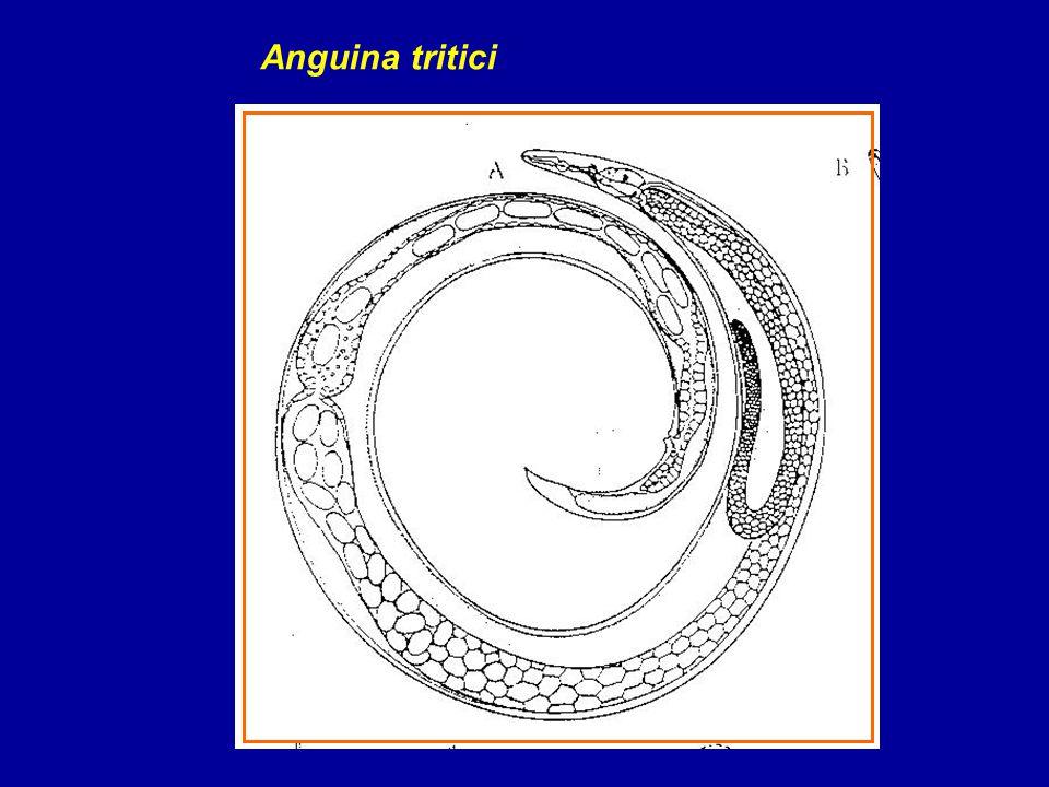Anguina tritici