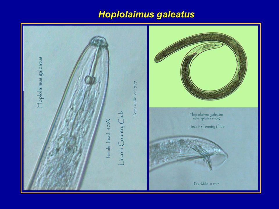 Hoplolaimus galeatus