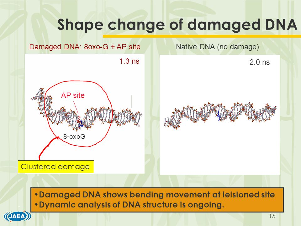 15 Shape change of damaged DNA 1.3 ns 8-oxoG AP site 2.0 ns Damaged DNA: 8oxo-G + AP siteNative DNA (no damage) Clustered damage Damaged DNA shows bending movement at leisioned site Dynamic analysis of DNA structure is ongoing.