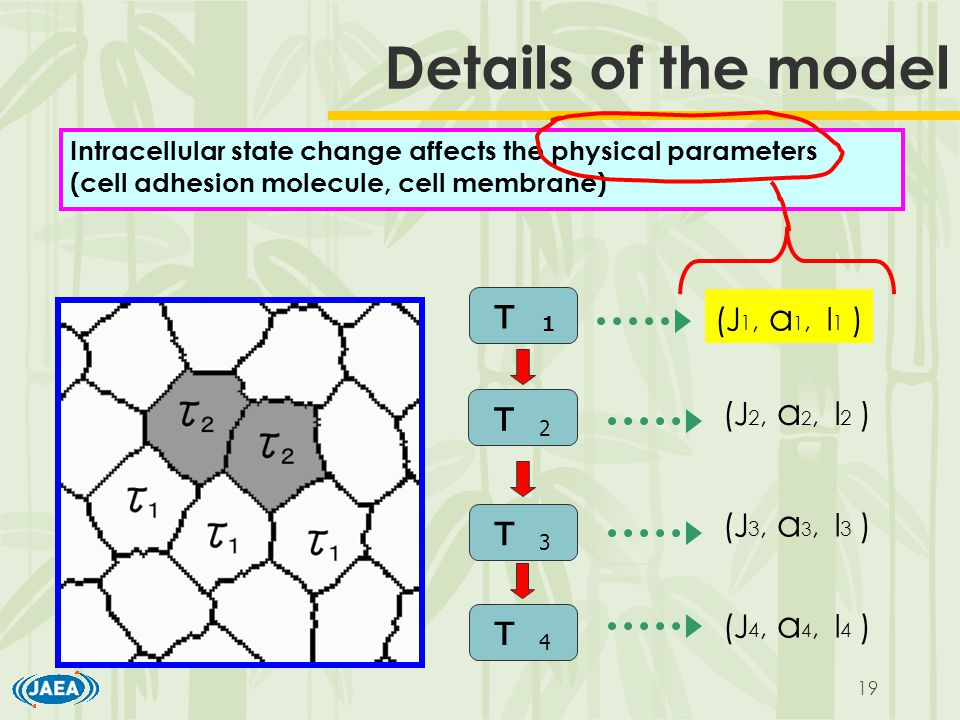 19 Details of the model Intracellular state change affects the physical parameters (cell adhesion molecule, cell membrane) τ 1 τ 2 τ 3 τ 4 (J 1, a 1, l 1 ) (J 2, a 2, l 2 ) (J 3, a 3, l 3 ) (J 4, a 4, l 4 )