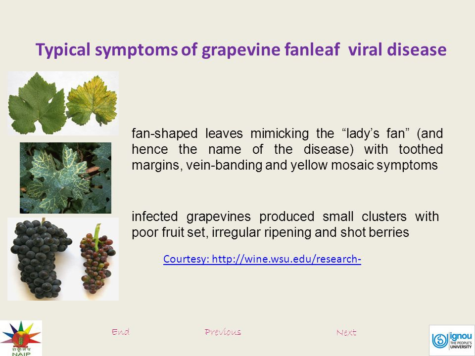 Typical symptoms of grapevine fanleaf viral disease fan-shaped leaves mimicking the lady's fan (and hence the name of the disease) with toothed margins, vein-banding and yellow mosaic symptoms infected grapevines produced small clusters with poor fruit set, irregular ripening and shot berries Courtesy: http://wine.wsu.edu/research- EndPrevious Next