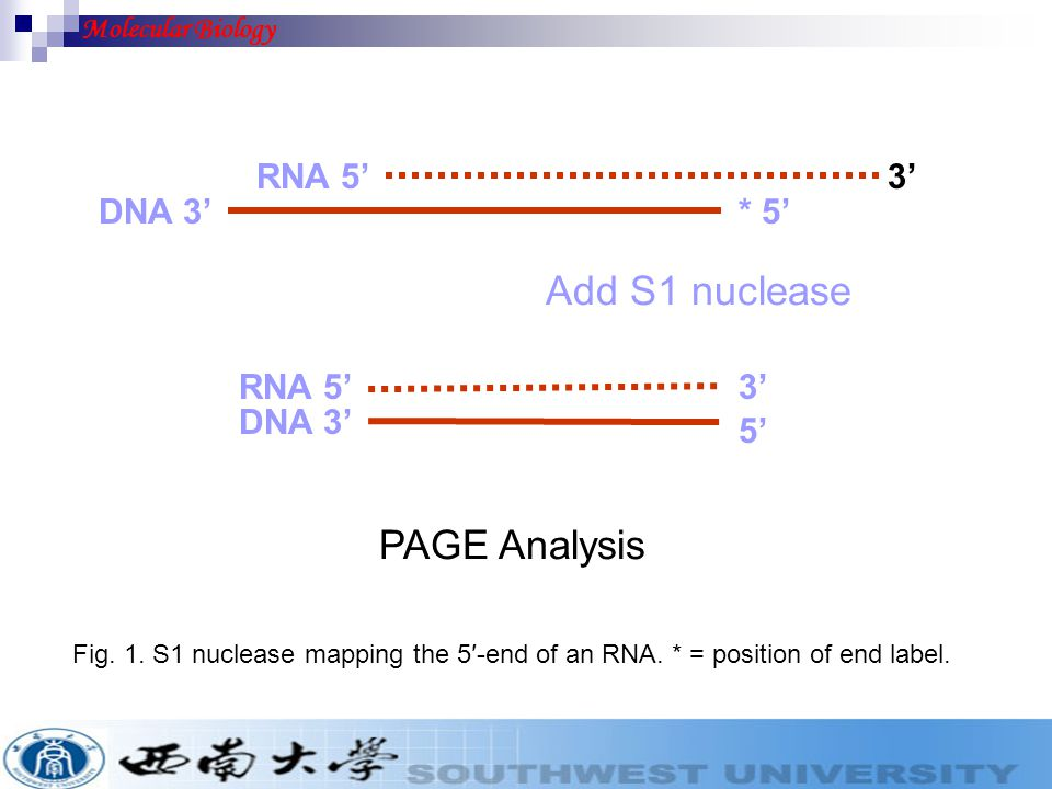 Fig. 1. S1 nuclease mapping the 5′-end of an RNA. * = position of end label. 3' DNA 3' RNA 5' DNA 3' Add S1 nuclease * 5' 3' 5' PAGE Analysis RNA 5' M