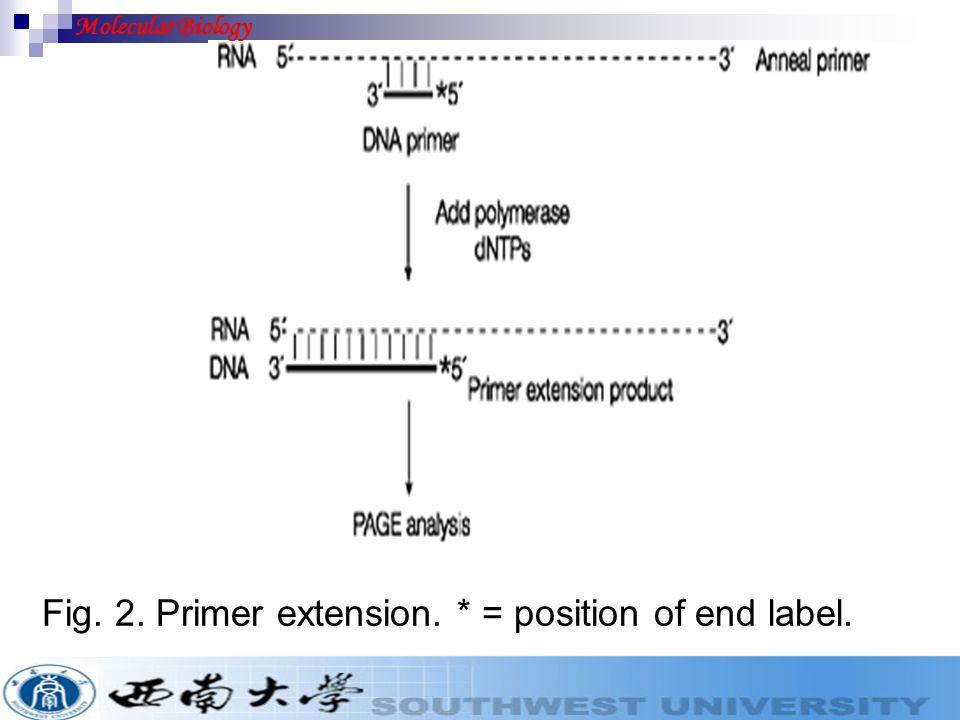 Fig. 2. Primer extension. * = position of end label. Molecular Biology