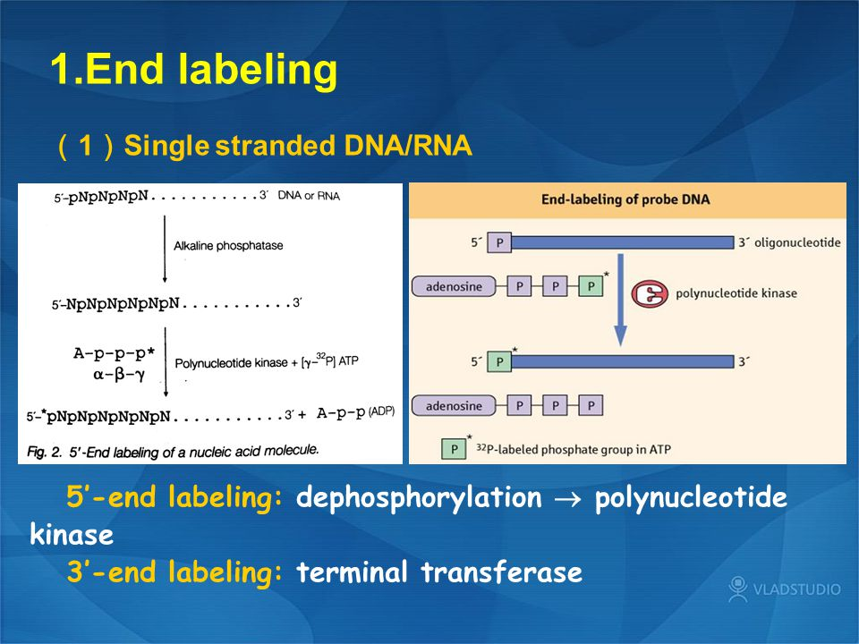 1.End labeling ( 1 ) Single stranded DNA/RNA 5'-end labeling: dephosphorylation  polynucleotide kinase 3'-end labeling: terminal transferase