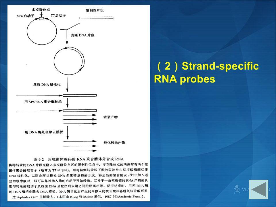 ( 2 ) Strand-specific RNA probes