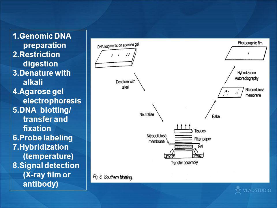 1.Genomic DNA preparation 2.Restriction digestion 3.Denature with alkali 4.Agarose gel electrophoresis 5.DNA blotting/ transfer and fixation 6.Probe l