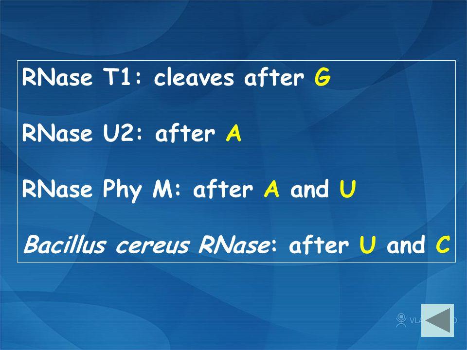 RNase T1: cleaves after G RNase U2: after A RNase Phy M: after A and U Bacillus cereus RNase: after U and C