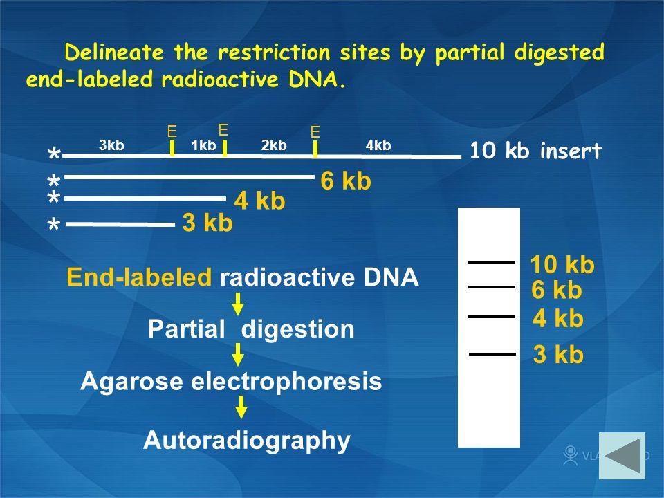 10 kb insert * * * * End-labeled radioactive DNA Partial digestion Agarose electrophoresis Autoradiography 3 kb 4 kb 6 kb 10 kb 3 kb 4 kb 6 kb E E E 3