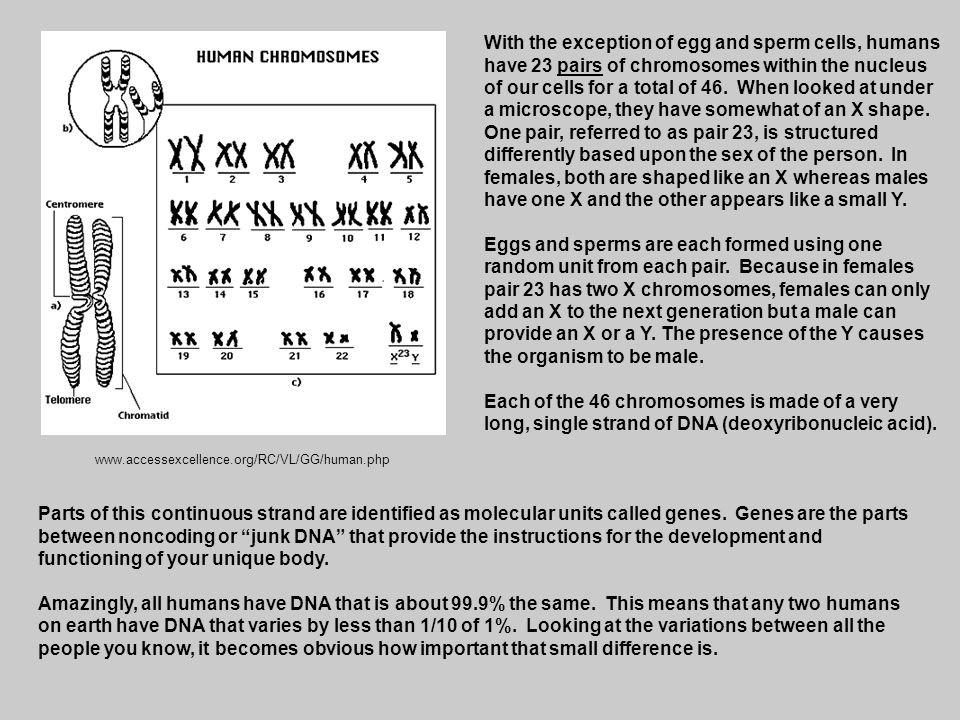 www.accessexcellence.org/RC/VL/GG/human.php With the exception of egg and sperm cells, humans have 23 pairs of chromosomes within the nucleus of our c