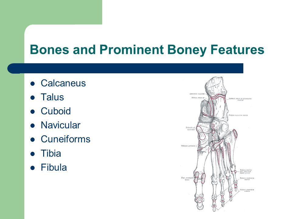 Bones and Prominent Boney Features Calcaneus Talus Cuboid Navicular Cuneiforms Tibia Fibula