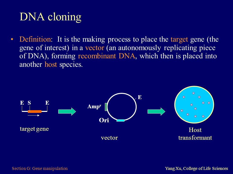 Section G: Gene manipulationYang Xu, College of Life Sciences DNA cloning Definition: It is the making process to place the target gene (the gene of i