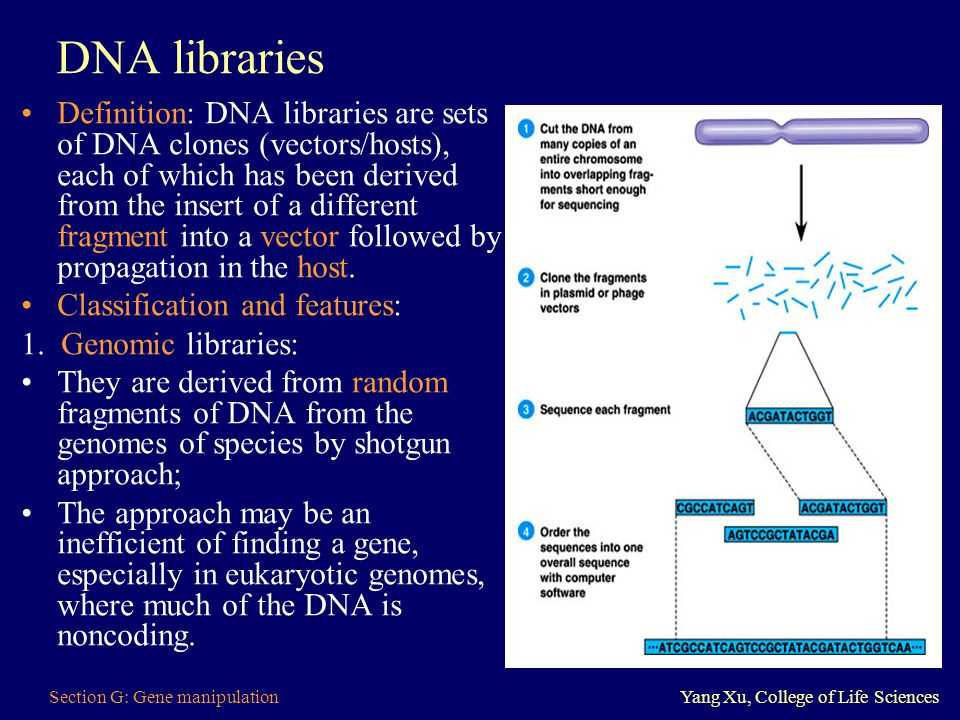 Section G: Gene manipulationYang Xu, College of Life Sciences DNA libraries Definition: DNA libraries are sets of DNA clones (vectors/hosts), each of