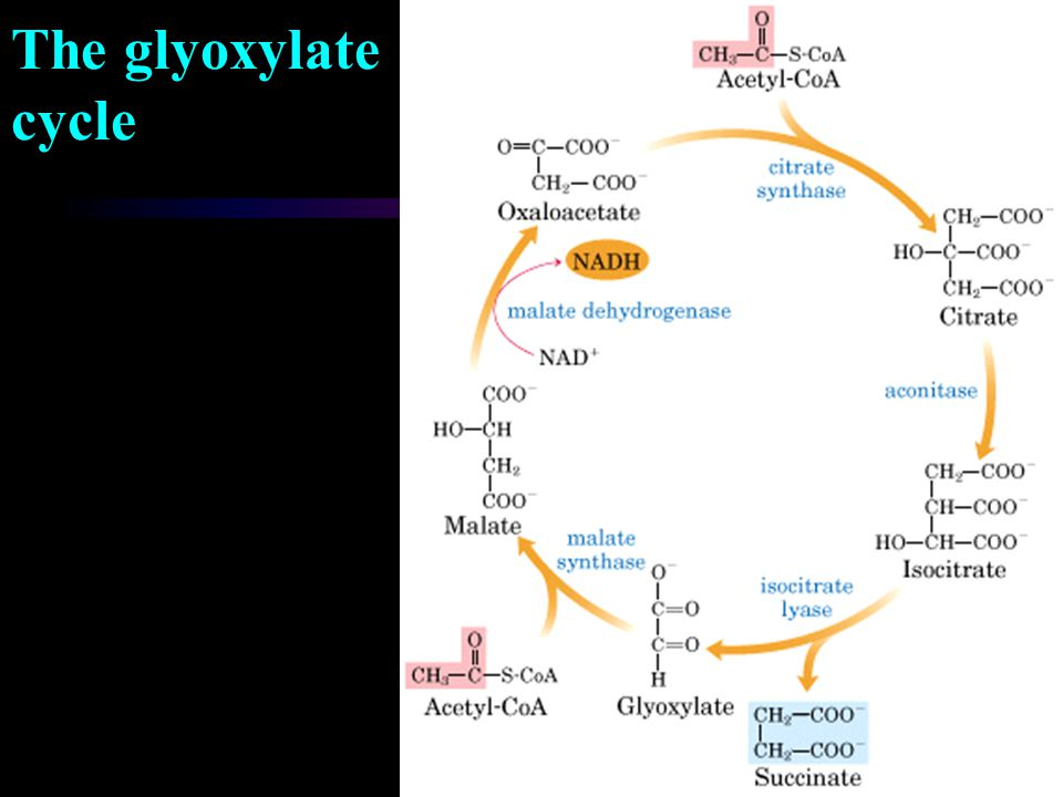 The glyoxylate cycle