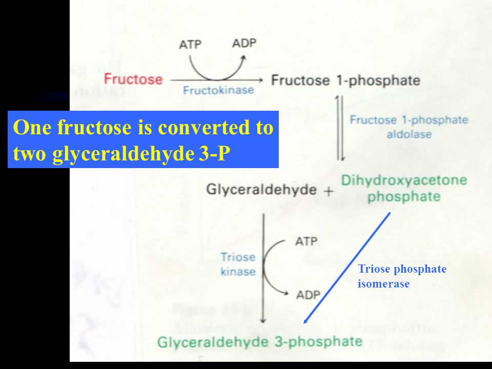 Triose phosphate isomerase One fructose is converted to two glyceraldehyde 3-P