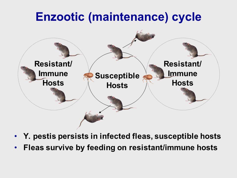 Enzootic (maintenance) cycle Y.