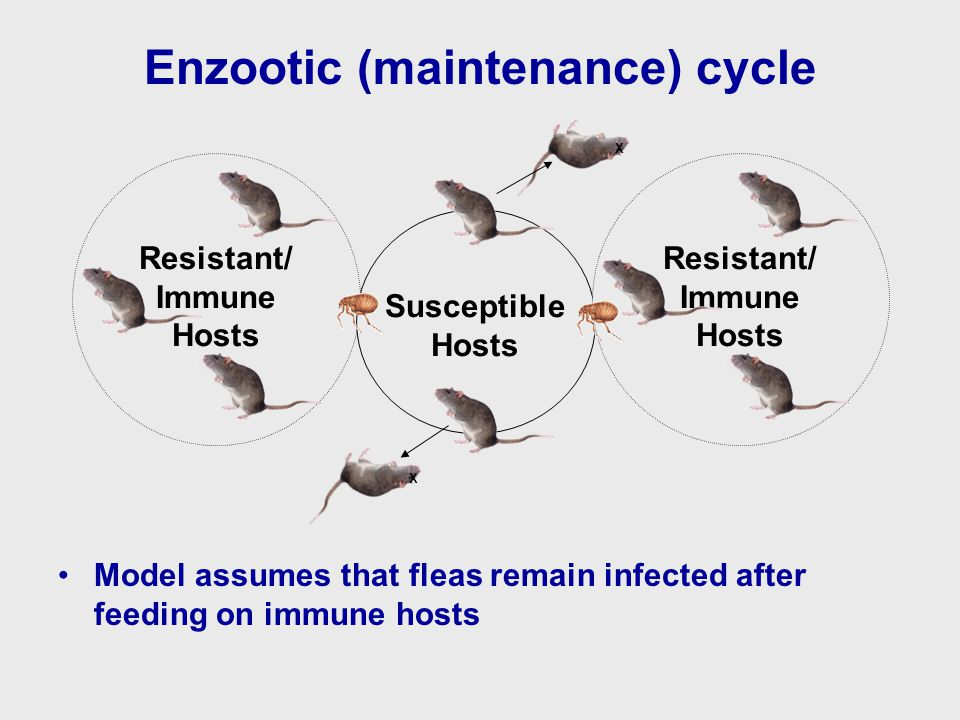 Enzootic (maintenance) cycle Model assumes that fleas remain infected after feeding on immune hosts Susceptible Hosts Resistant/ Immune Hosts Resistant/ Immune Hosts X X