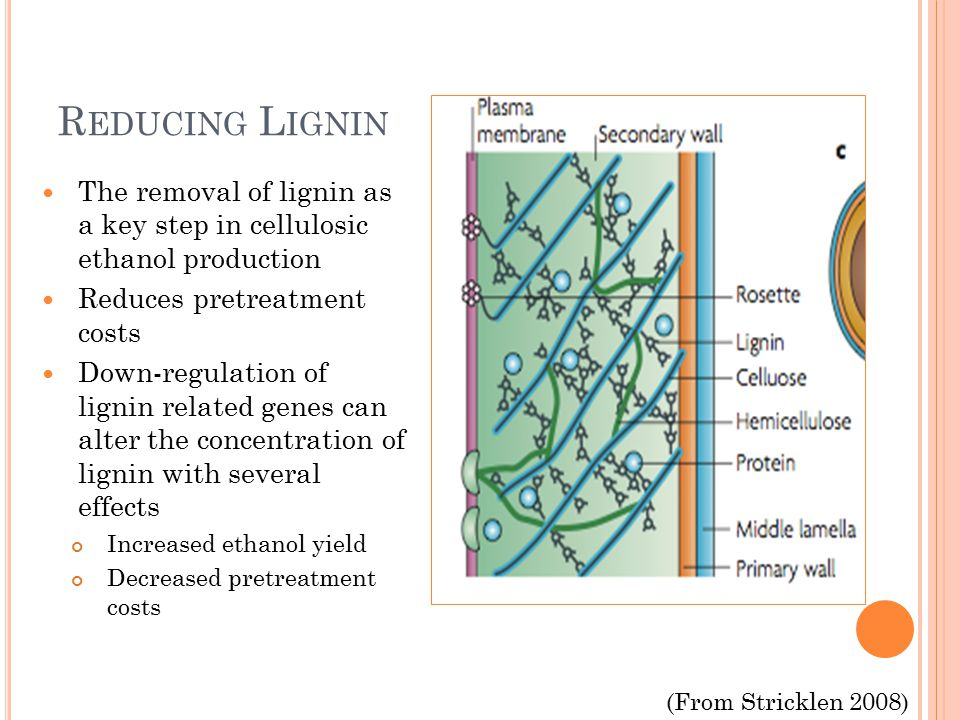 R EDUCING L IGNIN The removal of lignin as a key step in cellulosic ethanol production Reduces pretreatment costs Down-regulation of lignin related genes can alter the concentration of lignin with several effects Increased ethanol yield Decreased pretreatment costs (From Stricklen 2008)