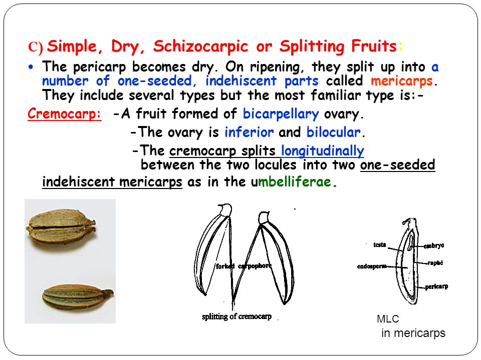 C) Simple, Dry, Schizocarpic or Splitting Fruits: The pericarp becomes dry. On ripening, they split up into a number of one-seeded, indehiscent parts