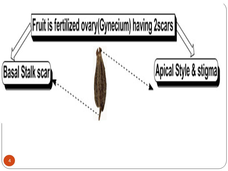 *General Characters of Umbelliferous Fruits 1.The fruit is true, simple, dry, schizocarpic, cremocarp.