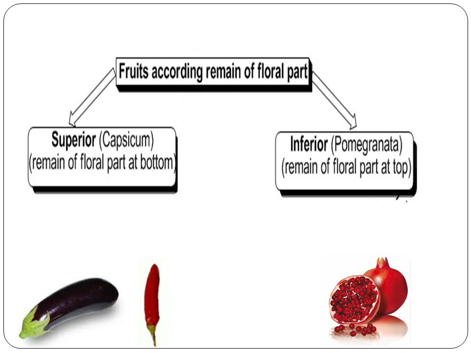 6.The seed is attached by its testa to the pericarp (fused) filling the whole locule.