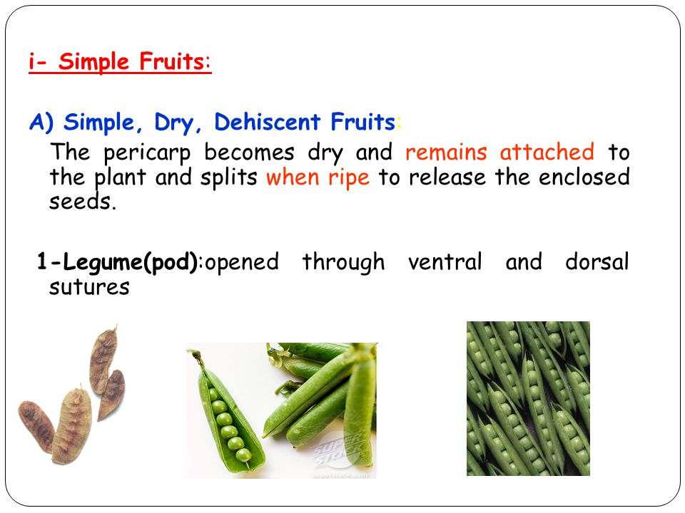 i- Simple Fruits: A) Simple, Dry, Dehiscent Fruits: The pericarp becomes dry and remains attached to the plant and splits when ripe to release the enc