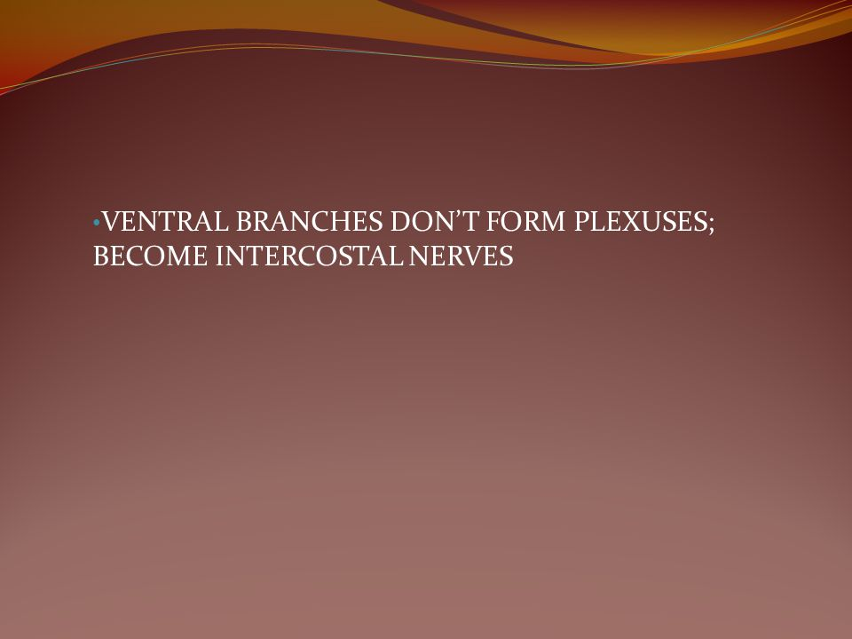 VENTRAL BRANCHES DON'T FORM PLEXUSES; BECOME INTERCOSTAL NERVES