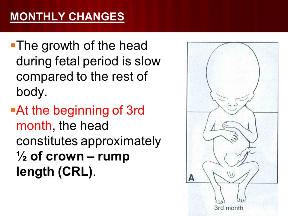 MONTHLY CHANGES  The growth of the head during fetal period is slow compared to the rest of body.