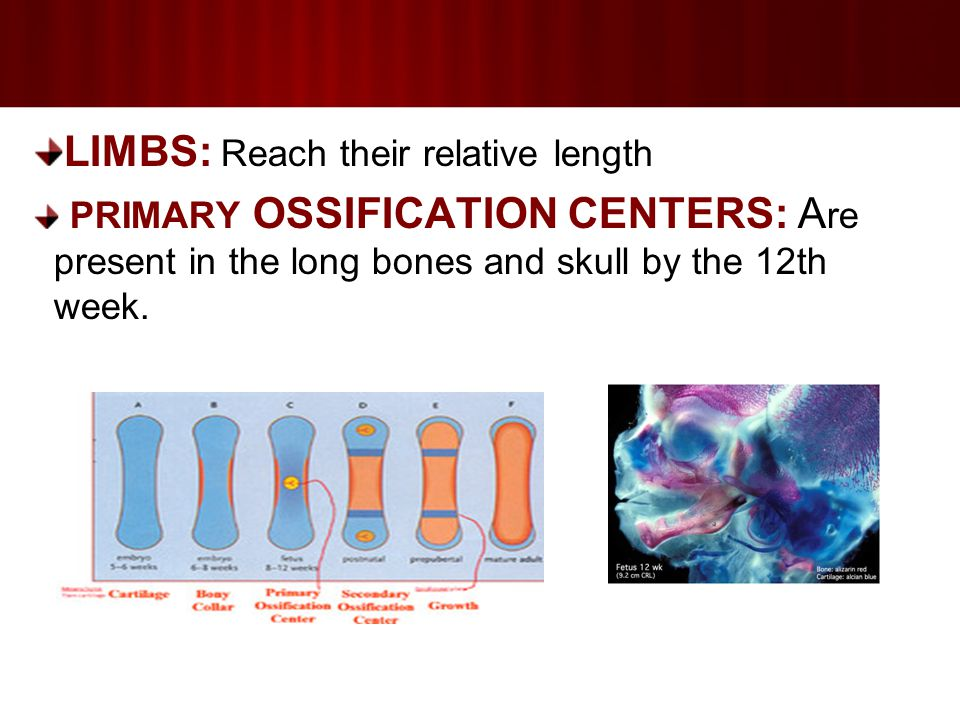 LIMBS: Reach their relative length PRIMARY OSSIFICATION CENTERS: A re present in the long bones and skull by the 12th week.