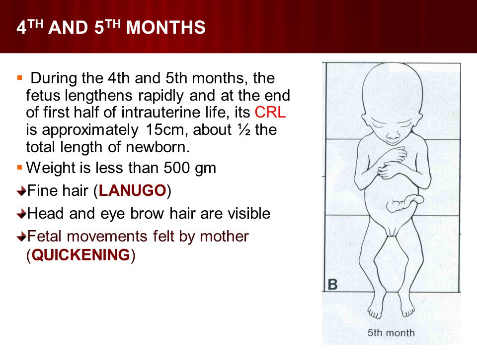 4 TH AND 5 TH MONTHS  During the 4th and 5th months, the fetus lengthens rapidly and at the end of first half of intrauterine life, its CRL is approximately 15cm, about ½ the total length of newborn.