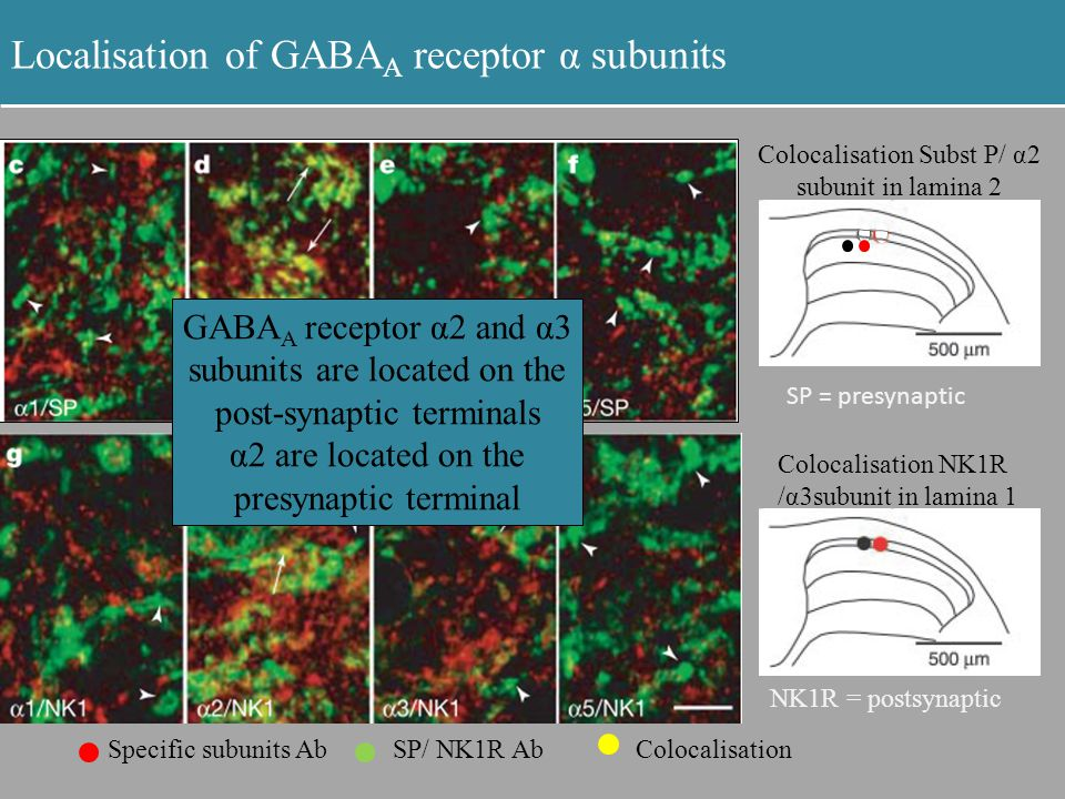 Localisation of GABA A receptor α subunits Colocalisation NK1R /α3subunit in lamina 1 NK1R = postsynaptic Specific subunits AbSP/ NK1R AbColocalisatio