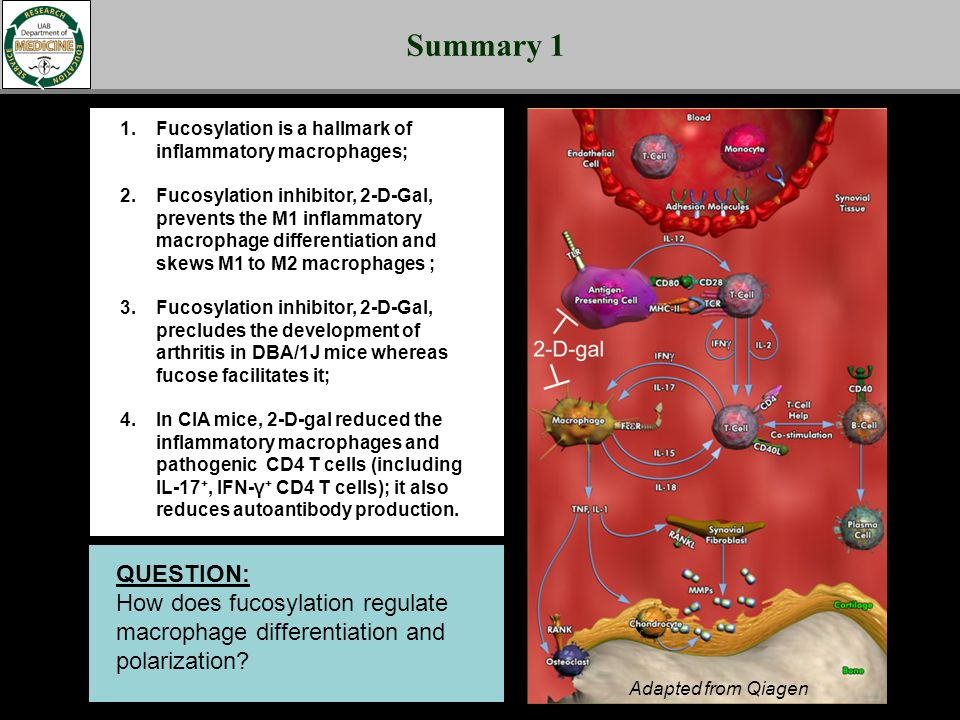 Summary 1 1.Fucosylation is a hallmark of inflammatory macrophages; 2.Fucosylation inhibitor, 2-D-Gal, prevents the M1 inflammatory macrophage differe