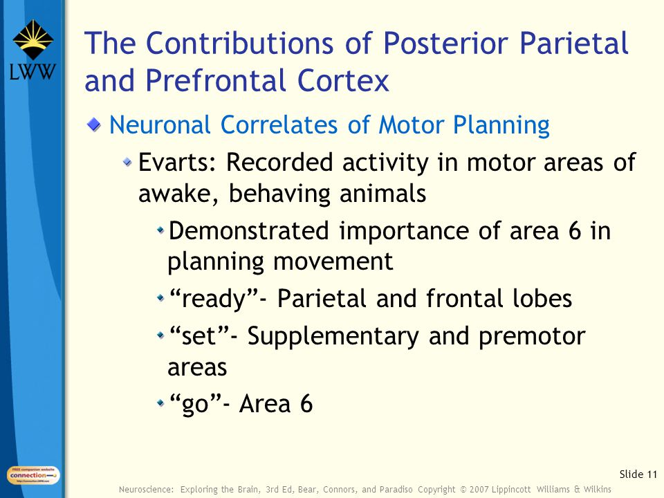 Slide 11 Neuroscience: Exploring the Brain, 3rd Ed, Bear, Connors, and Paradiso Copyright © 2007 Lippincott Williams & Wilkins The Contributions of Posterior Parietal and Prefrontal Cortex Neuronal Correlates of Motor Planning Evarts: Recorded activity in motor areas of awake, behaving animals Demonstrated importance of area 6 in planning movement ready - Parietal and frontal lobes set - Supplementary and premotor areas go - Area 6