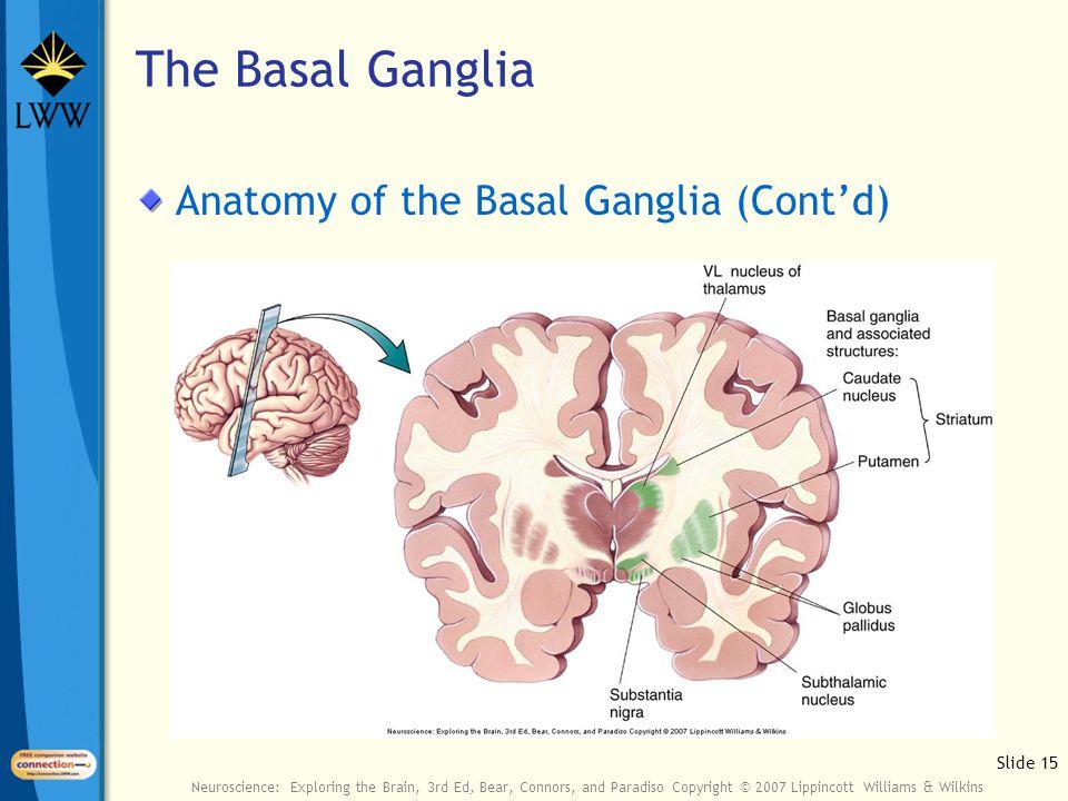 Slide 15 Neuroscience: Exploring the Brain, 3rd Ed, Bear, Connors, and Paradiso Copyright © 2007 Lippincott Williams & Wilkins The Basal Ganglia Anato