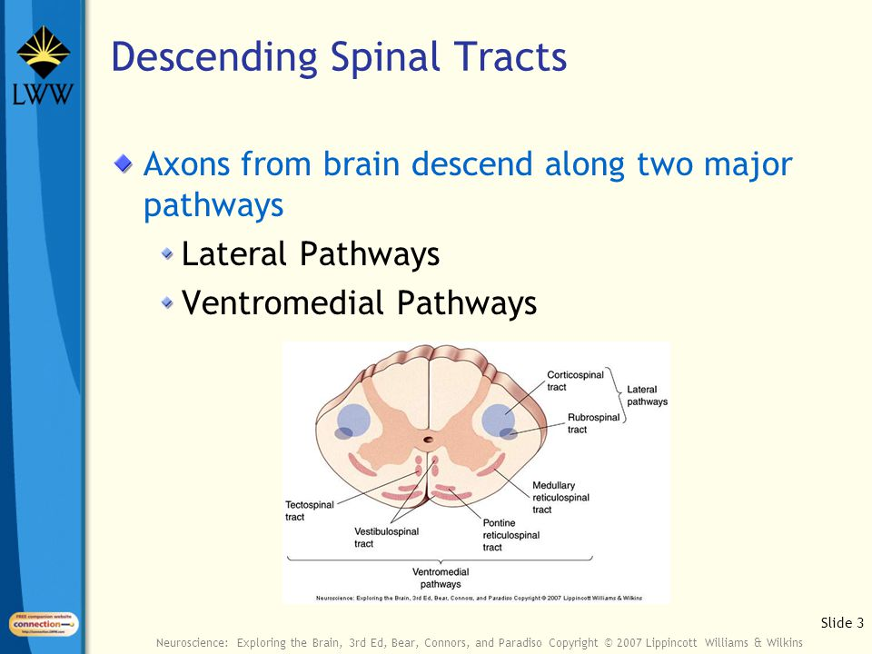 Slide 3 Neuroscience: Exploring the Brain, 3rd Ed, Bear, Connors, and Paradiso Copyright © 2007 Lippincott Williams & Wilkins Descending Spinal Tracts Axons from brain descend along two major pathways Lateral Pathways Ventromedial Pathways