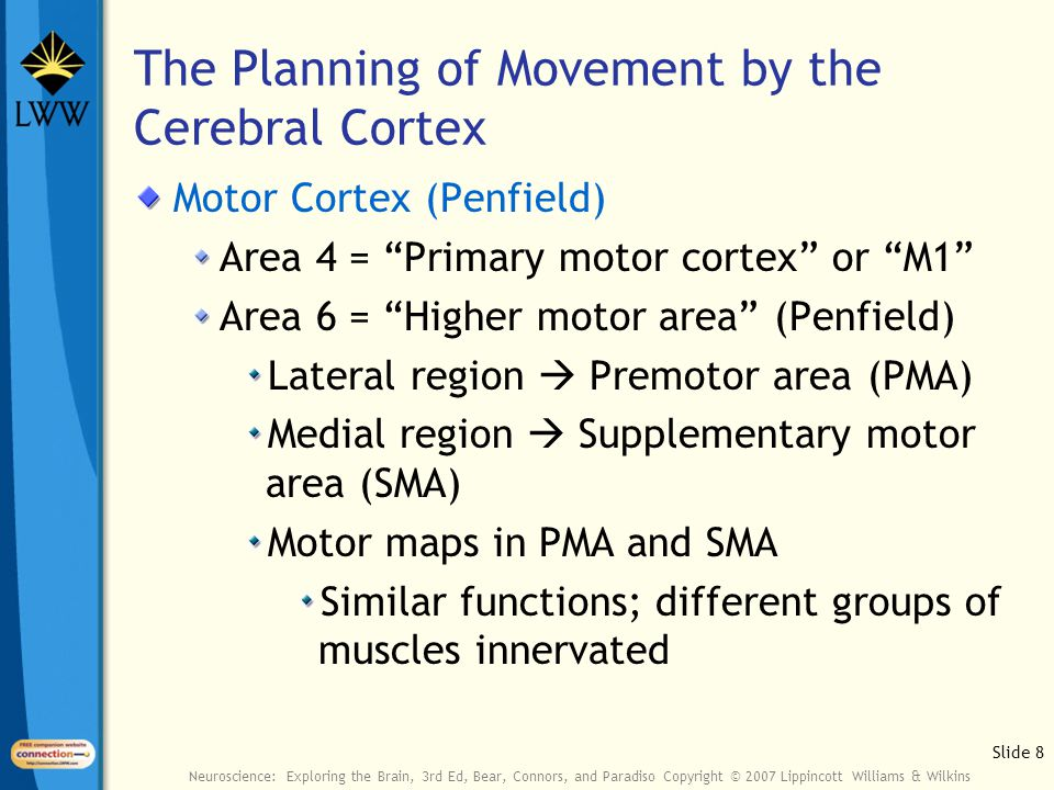Slide 8 Neuroscience: Exploring the Brain, 3rd Ed, Bear, Connors, and Paradiso Copyright © 2007 Lippincott Williams & Wilkins The Planning of Movement by the Cerebral Cortex Motor Cortex (Penfield) Area 4 = Primary motor cortex or M1 Area 6 = Higher motor area (Penfield) Lateral region  Premotor area (PMA) Medial region  Supplementary motor area (SMA) Motor maps in PMA and SMA Similar functions; different groups of muscles innervated