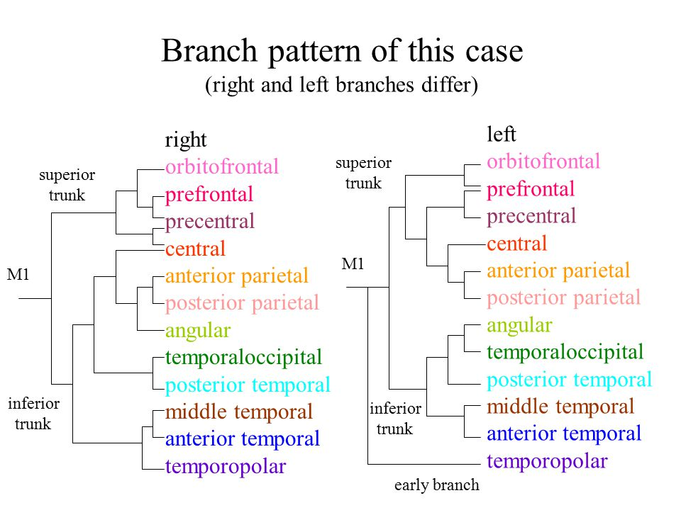 Branch pattern of this case (right and left branches differ) left orbitofrontal prefrontal precentral central anterior parietal posterior parietal ang