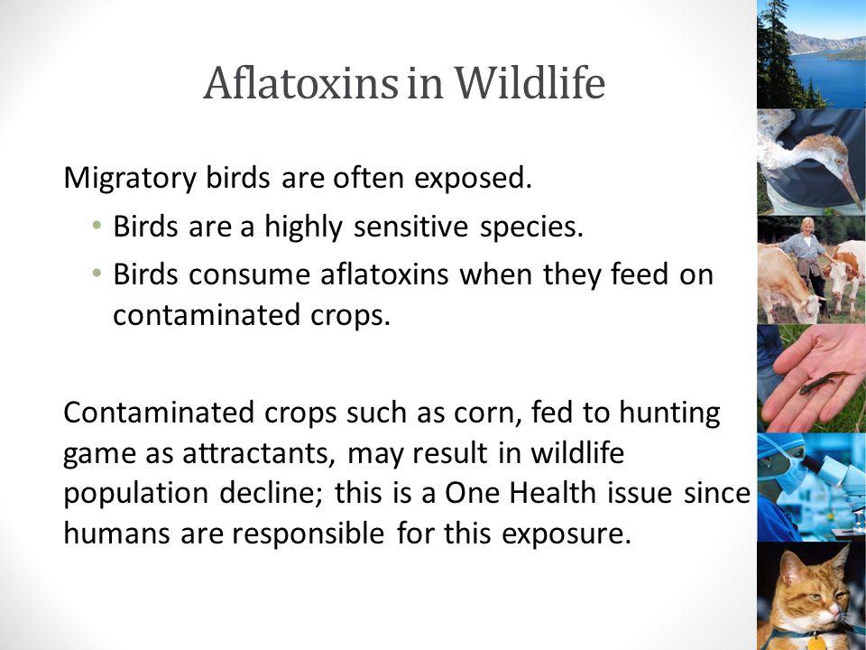 Aflatoxins in Wildlife Migratory birds are often exposed.