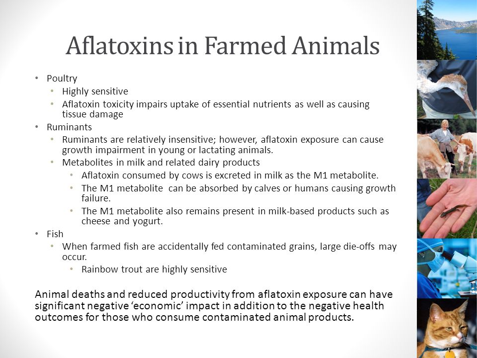 Aflatoxins in Farmed Animals Poultry Highly sensitive Aflatoxin toxicity impairs uptake of essential nutrients as well as causing tissue damage Ruminants Ruminants are relatively insensitive; however, aflatoxin exposure can cause growth impairment in young or lactating animals.