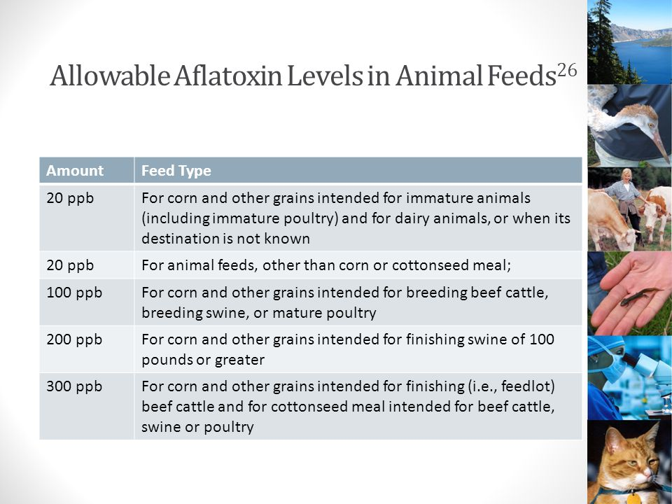Allowable Aflatoxin Levels in Animal Feeds 26 AmountFeed Type 20 ppbFor corn and other grains intended for immature animals (including immature poultry) and for dairy animals, or when its destination is not known 20 ppbFor animal feeds, other than corn or cottonseed meal; 100 ppbFor corn and other grains intended for breeding beef cattle, breeding swine, or mature poultry 200 ppbFor corn and other grains intended for finishing swine of 100 pounds or greater 300 ppbFor corn and other grains intended for finishing (i.e., feedlot) beef cattle and for cottonseed meal intended for beef cattle, swine or poultry