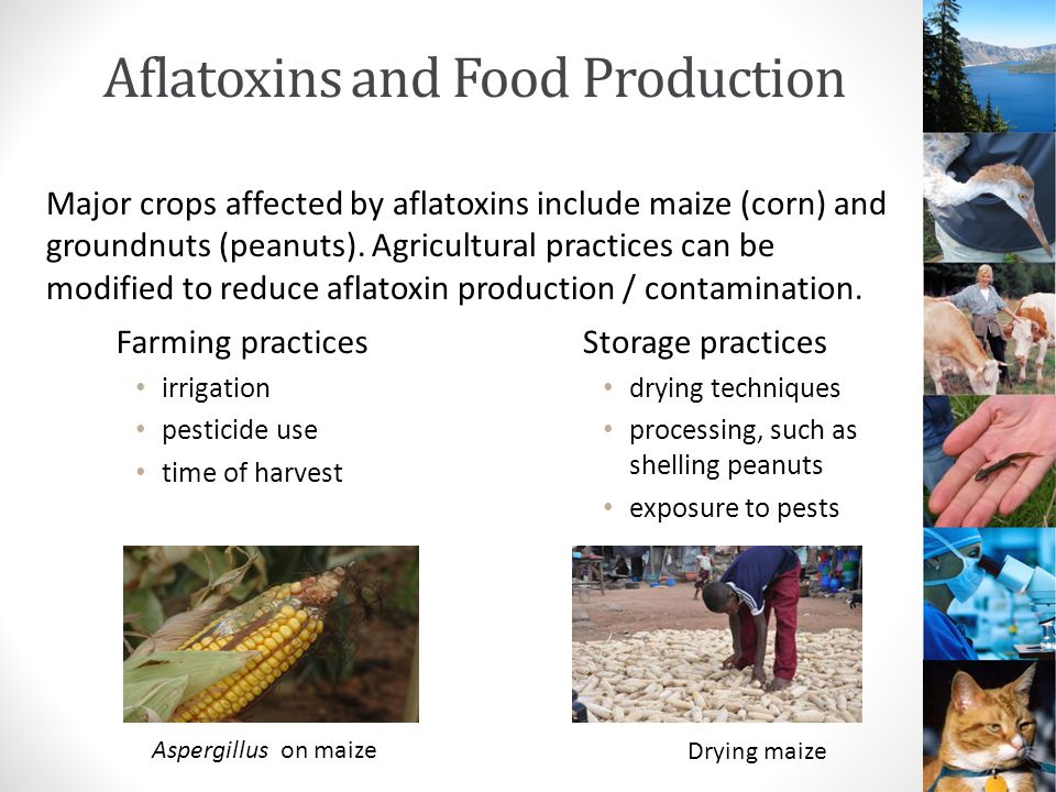 Aflatoxins and Food Production Farming practices irrigation pesticide use time of harvest Storage practices drying techniques processing, such as shelling peanuts exposure to pests Major crops affected by aflatoxins include maize (corn) and groundnuts (peanuts).